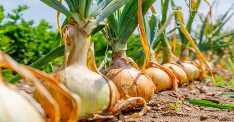 Onions 2021.jpg